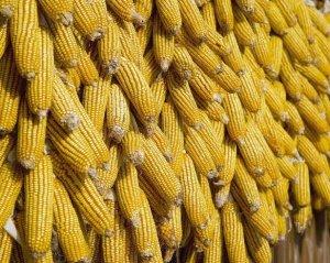 今年你想让玉米卖个高价,只要注意两点!