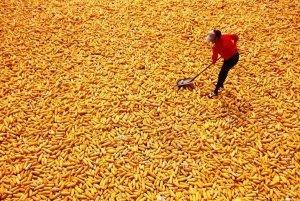 国家计划收购玉米1000亿斤,农业部预计东