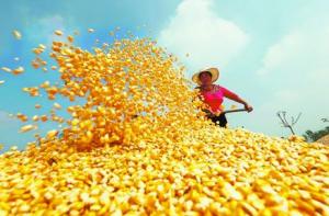 短期新粮集中上市价格承压,玉米行情震荡偏弱