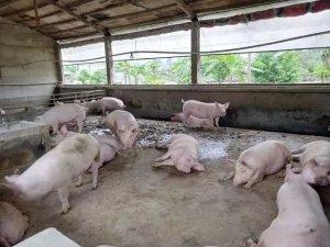农村养猪怎样才能最赚钱?