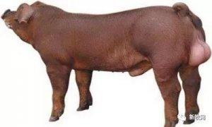 有了它,我国家猪育种技术再进一步