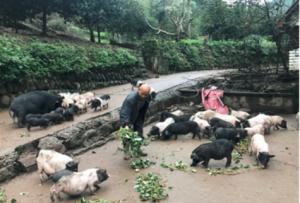 雅安市香猪产业扶贫见成效 养出一条致富