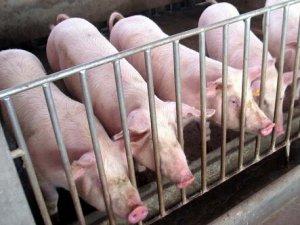 【聚焦】谁才是未来养猪业的主导者?