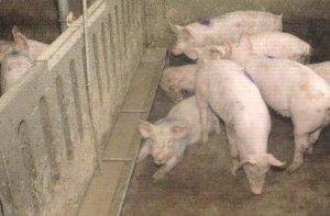 你只知道猪怕热,却不知道TA为什么怕热