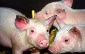 新引进的后备母猪如何进行猪蓝耳病驯化?用唾液怎么操作?