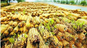 霉变效应持续发酵 华北部分企业玉米收购价格上调