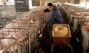 猪场出现问题,为什么客户习惯于归结为饲料的问题?
