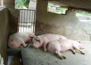 八大猪场急救措施大全,每一条都可以救命!