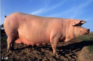 要想养好母猪,膘情是关键,你会合理调膘