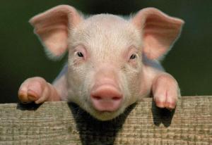 未来猪价如何走向,今