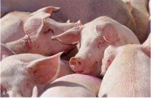 """牢记""""增强猪群免疫力""""四大点,猪少生病"""