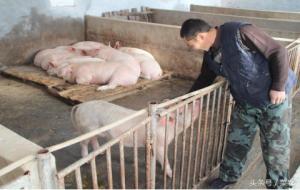 农村养猪的禁忌,你知道多少?连修猪圈就