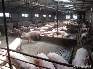 农民学养猪,如何养猪高产母猪