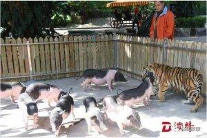 """""""猪入虎穴""""? 深圳动物园上演""""虎猪一"""