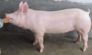 猪病久治不愈的原因分析,这些错误你或许已经犯了!