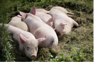 小散户以后还能养猪吗