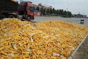 玉米价钱到底还涨不涨?专家说,涨,但是