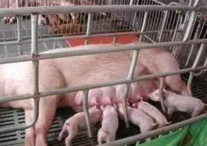 养猪都有哪些圈舍?