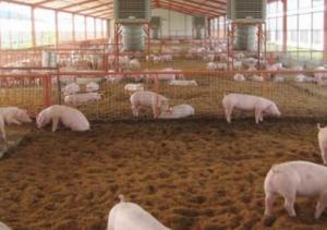 干撒式发酵床养殖是不是生态养殖