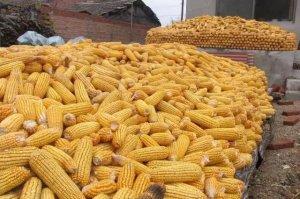 玉米产量减少已成定局,2018玉米行情如何