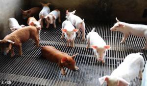 猪场4种取暖设备的使用,不要你的猪跟着受罪