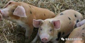 猪张口呼吸、咳嗽,是猪气喘病吗?