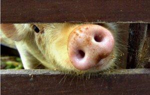 猪投药的7大误区,做不对秋冬季防疫会吃大亏