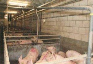 出栏还是不出栏?如何让剩下的猪和平相处?
