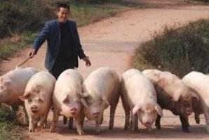老猪农把一生养猪的经验编成歌,火遍朋友圈……