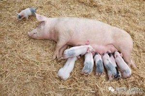 想轻松提高母猪产量,做好这9个措施就行了