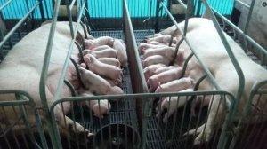 为何母猪屡配不孕、PSY降低,母猪也是有难言之隐!