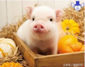 为什么有些猪屠宰之后脂肪呈现黄色?这其实是一种病!