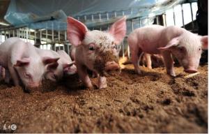 养猪人,如何利用生物发酵床技术养猪,全