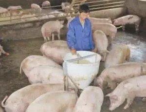 """猪价继续维持稳定 市场供需僵持局面延续,猪肉""""举足轻重""""的作用并不是说说而已!"""