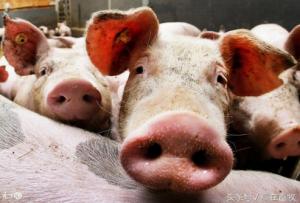 猪秋冬易患痢疾、咳嗽,简单2个中药方子