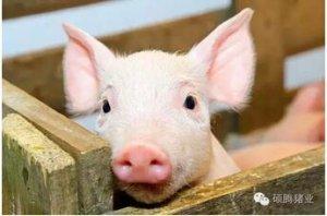 购猪选猪有学问---如何选购一头好仔猪?
