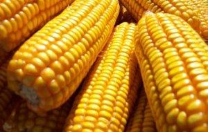 新粮稳步上量 山东中南部新玉米霉变普遍