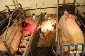 想轻松提高母猪产量,做好这9个措施就行了!