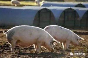 肥猪何时出栏挣得最多?