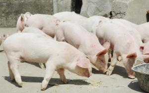 生猪价格继续维持稳定 猪价还会继续涨吗?