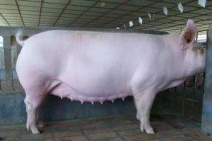 引起母猪产程延长的十大原因