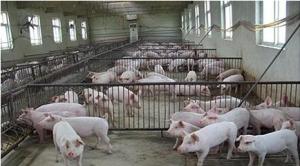 猪场保育阶段的饲料过渡原来有这么多讲究