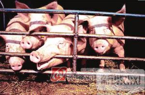 """""""过山车""""猪价该往上爬爬了 猪市在回升"""