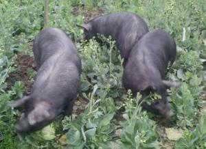 发展林下生态养殖 黑山猪成为市场新宠