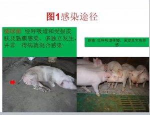 图解链球菌和副猪的区别及治疗方法!