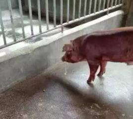 猪呕吐症状的原因及危害