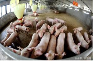 生猪价格行情上涨大势已定 需准备蓄势待发?
