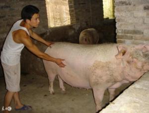 小散养猪户在做母猪人工授精时需注意的细