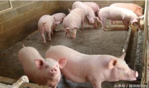 粪便也能当饲料,喂猪效果还挺好