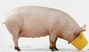 猪每天吃饲料,它营养